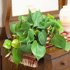 Plantas de interior resistentes 4