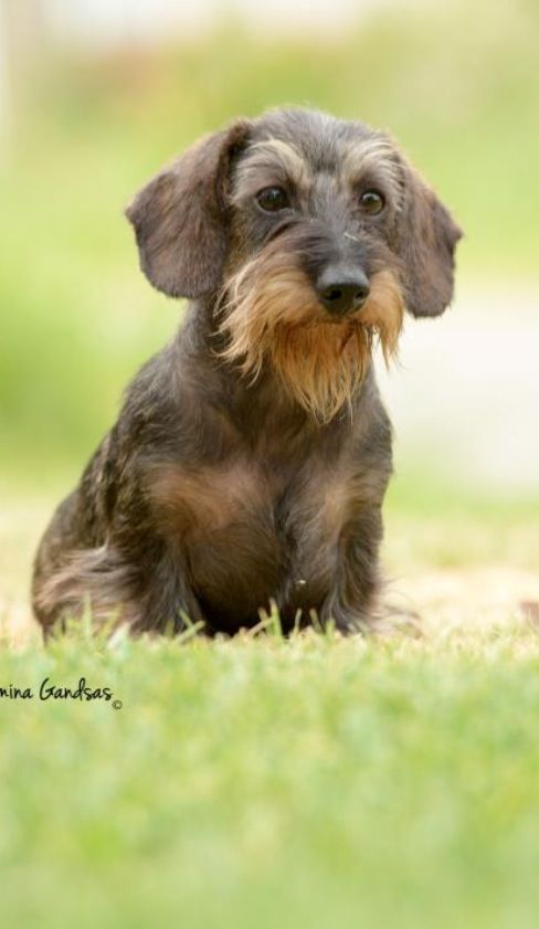 111 best scruffy dogs images on pinterest dachshund dog dachshunds and daschund. Black Bedroom Furniture Sets. Home Design Ideas