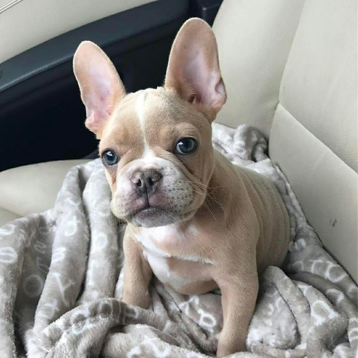 Best French Bulldog Images On Pinterest Celebrity Bebe And - Ivette ivens baby bulldog