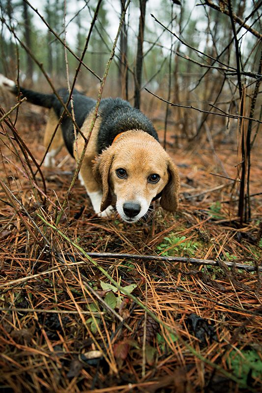 Deep in the North Carolina Piedmont, one man has made sure that the storied tradition of taking to the field with a pack of beagles in mad pursuit of rabbits lives on. (Photo by Peter Taylor)