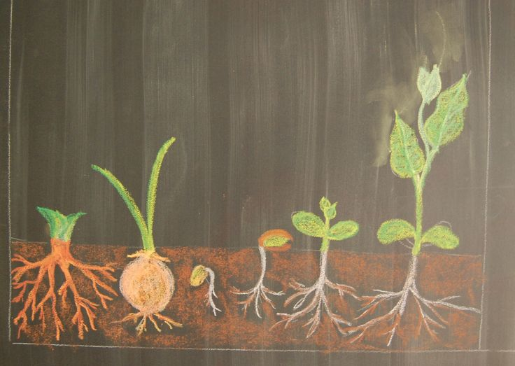 Waldorf ~ 5th grade ~ Botany ~ chalkboard drawing