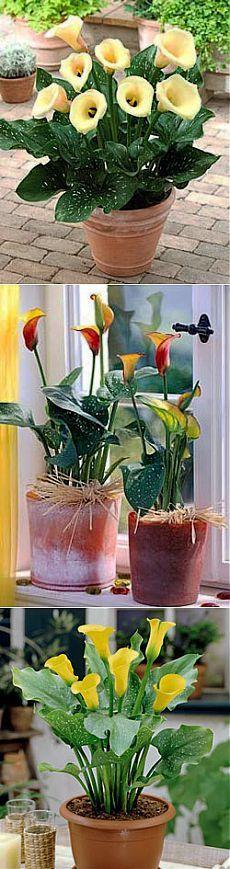 Правильная посадка и хранение клубней калл - калла kalla calla flower, купить луковицы каллы, клубни каллы