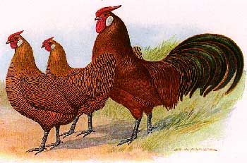 Poultry Breeds - Hamburg Chickens — Breeds of Livestock, Department of Animal Science