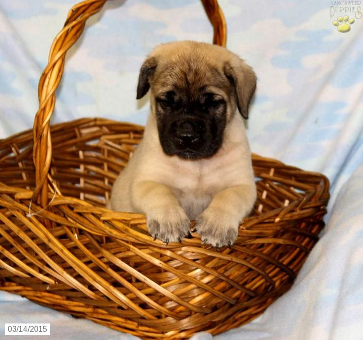 English Mastiff Puppy for Sale in Pennsylvania