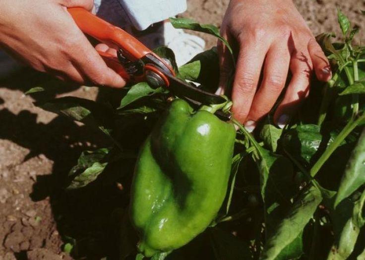 Les secrets pour réussir sa récolte de poivron et piment