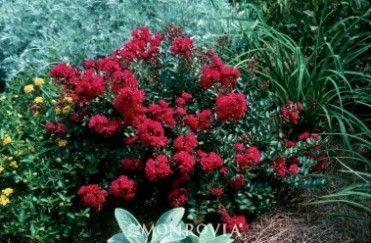 Cherry Dazzle® Crape Myrtle / Pike Nurseries