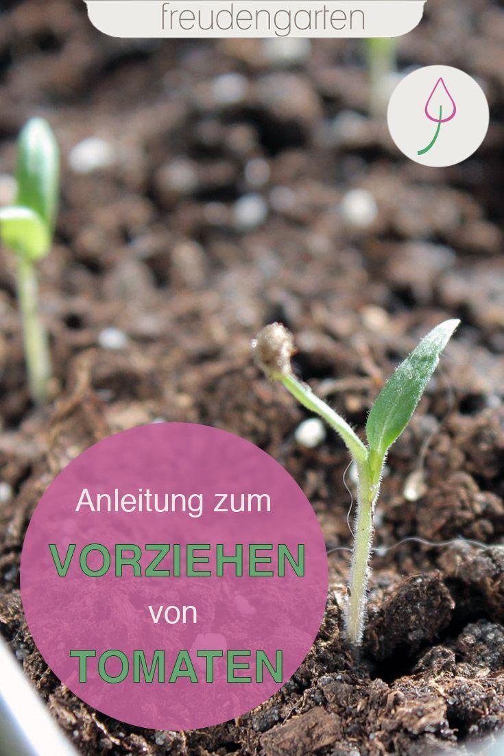 Tomaten Vorziehen Und Aussaen In 2020 Garten Pflanzen Gemusegarten Anlegen