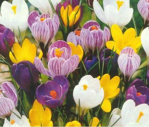 Saffron Seeds Saffron Flower Seeds In Bloom All by Greenworld1