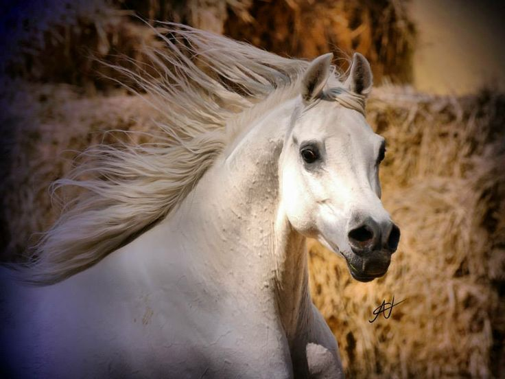 162 Best The Legends Of Arabian Horse Around The World -6811