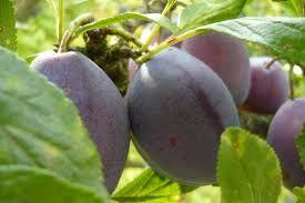 švestka domácí-Prunus domestica čeleď-růžovité