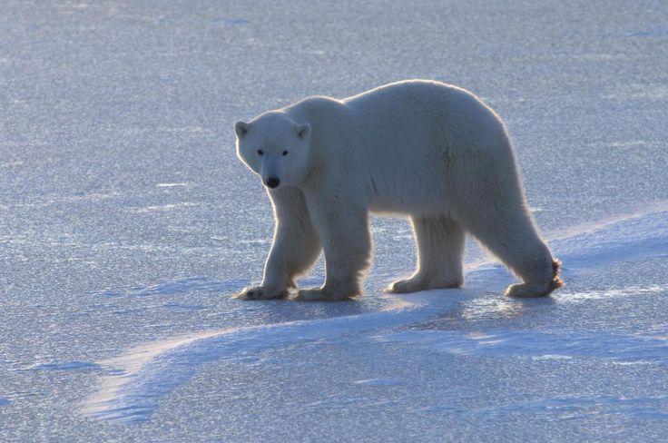 Gli orsi polari non sono in grado di adattare il loro comportamento e le loro abitudini così da poter far fronte alla carenza di cibo