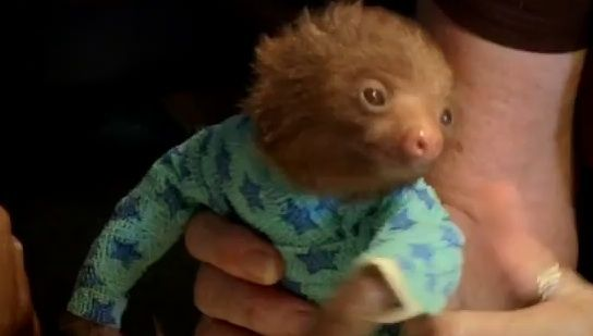 Baby sloth in a bandage onesie. (He lost his fur to mange. SPOILER ALERT: He cuddles with another sloth at the end.