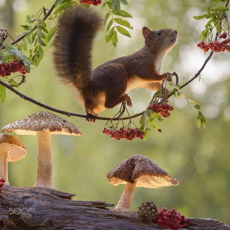 Red squirrel on rowan branch by Geert Weggen on 500px