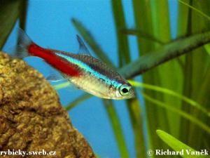 tetra neónová - vhodná ryba ku Betta Splendens