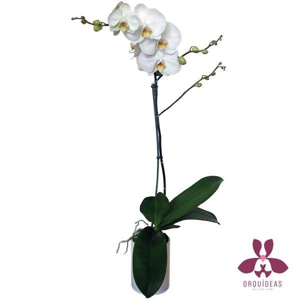 Orquídea Bianco 1   Orquídeas a Domicilio en Orquídeas Online