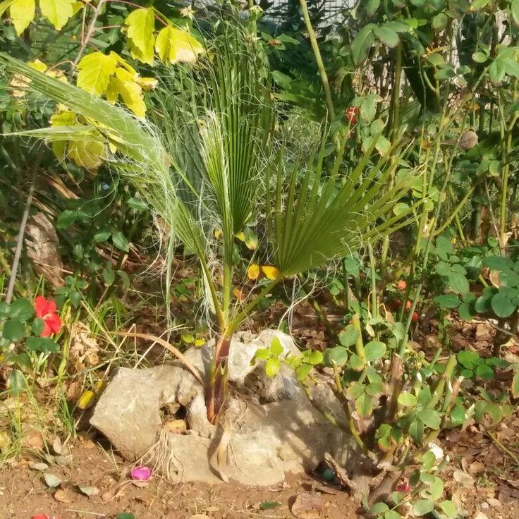 Seguro que esta palmerita consigue vencer la resistencia de la piedra entre la que ha decidido crecer ¡la gracia que tienen los jardines de mi barrio!.🌇🌇🌇