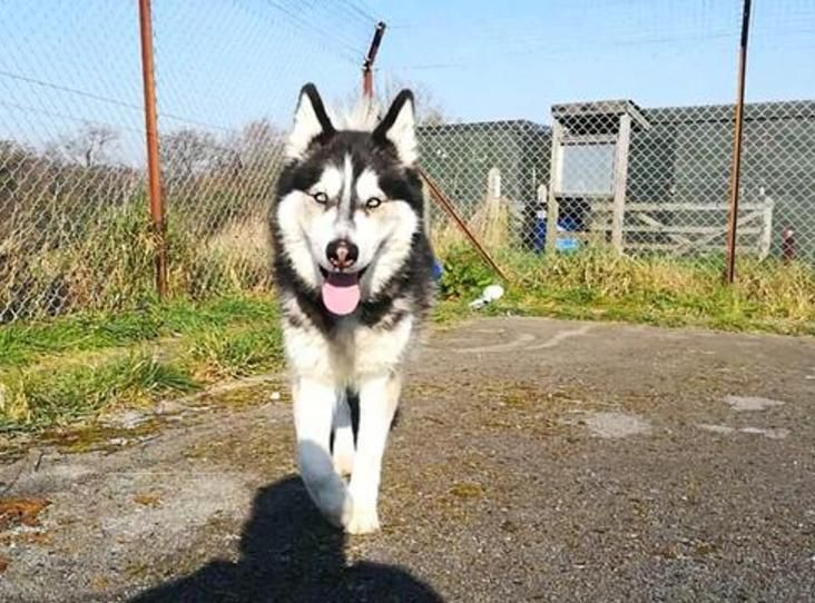 Narla Find A Pet Rspca Org Uk Malamute Dogs Husky