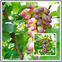 Grape seed direct fruiting grape seed easily manage multiple sub potted grape seed planted 50 seeds / pack(China (Mainland))