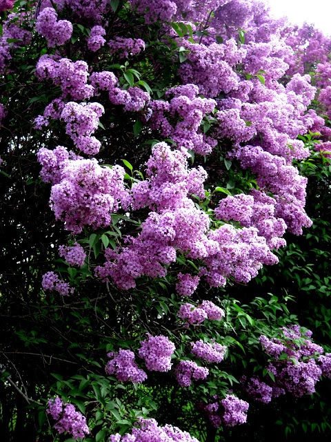 This is what my Lilac bushes look like in bloom. Bumble bees and butterflies and birds are all over it. The smell is to die for :)