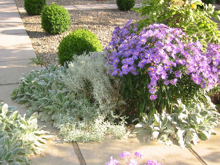 Stachys, buxus balls and autumn asters