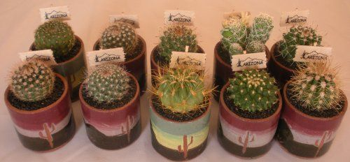 Live Baby Cactus – 1 Inch Ceramic Pot(exactly As Pictured) – Small Cacti – Cutest Little Mini Cactus – You Will Receive 1 Mini Cactus in a 1″ Ceramic Pot(exactly As Pictured). | gardengoodsonline.com