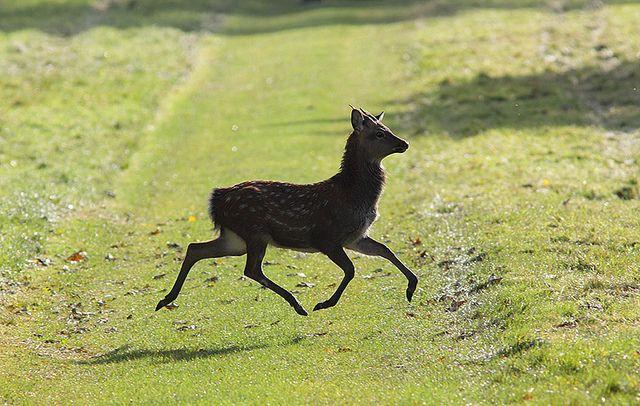 Sika Deer crossing path