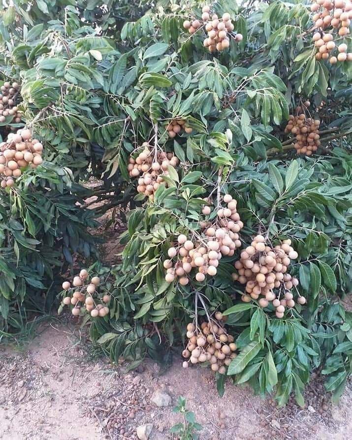 Mas Tani Bibit On Instagram Klengkeng New Kristal Menarik Nggak Ya Kalau Satu Pohon Ada 2 Jenis Mau Bibit Sprti Ini Purworejoku Fruit Trees Plants Tree