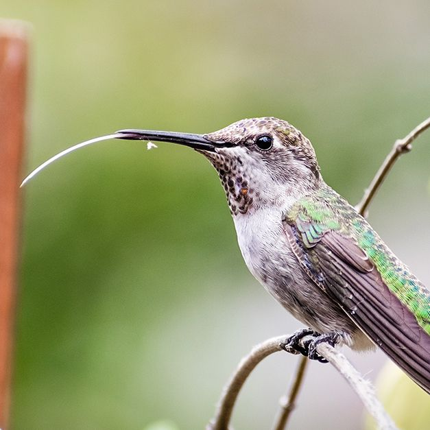 What Does Baby Hummingbirds Eat