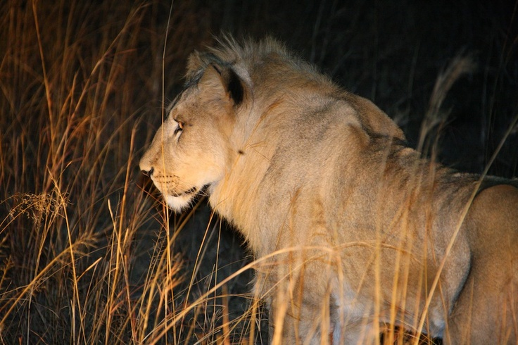 Enjoy a night encounter to experience how the big lions are hunting at night.