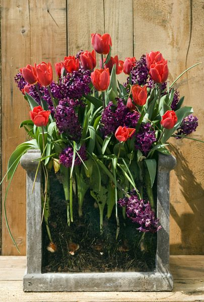 Bulbs for Pots - Red and Plum When working with bulbs in pots, the best seasonal displays are created when you plant them in layers. This then enables you to create a display that will flower over several months. This combination will provide an abundance of richly coloured flowers from February to May.