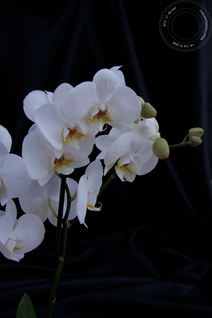 white orchid..my favorite!