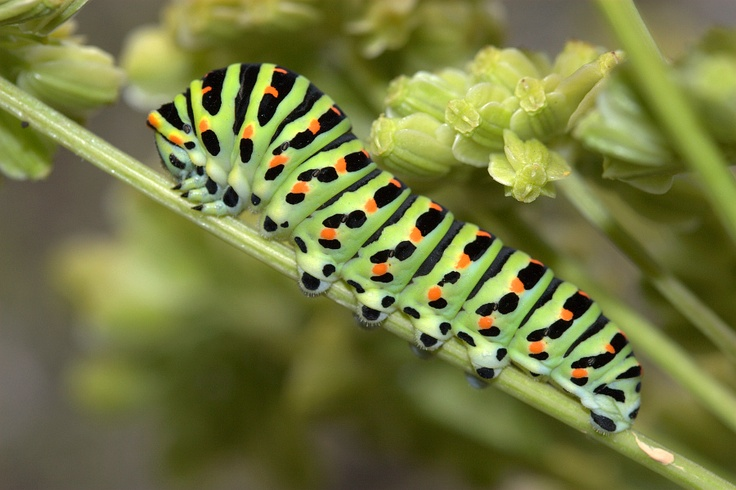 Swallowtail (Papilio machaon) butterfly larva. Natures perfect colour combo