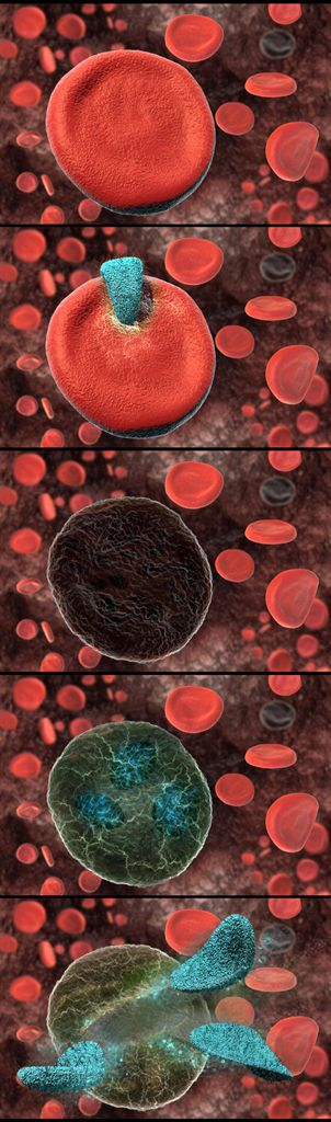 """Luxology Gallery: The life cycle of """"Babesia microti"""" 