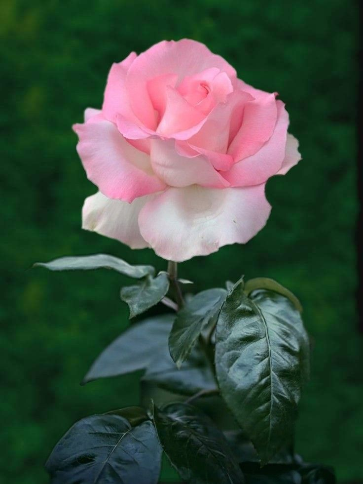 Pin By Shaylee Klein On 1 A File General Beautiful Flowers Beautiful Pink Roses Beautiful Roses