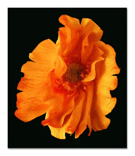 A photograph from the 'Faux' series by NZ photographer Boyd Webb (Born 1947). Faux is a comment on biotechnology and GM crops. The huge prints depict fabric flowers whose vivid colours are at first-glance akin to the vibrance of a real flower, this combined with an absence of reference point for scale creates an unsettling tableau, prompting the viewer to consider the frankenstein nature of GM crops. Boyd adds a touch of irony, using 'straight' techniques with no digital manipulation.
