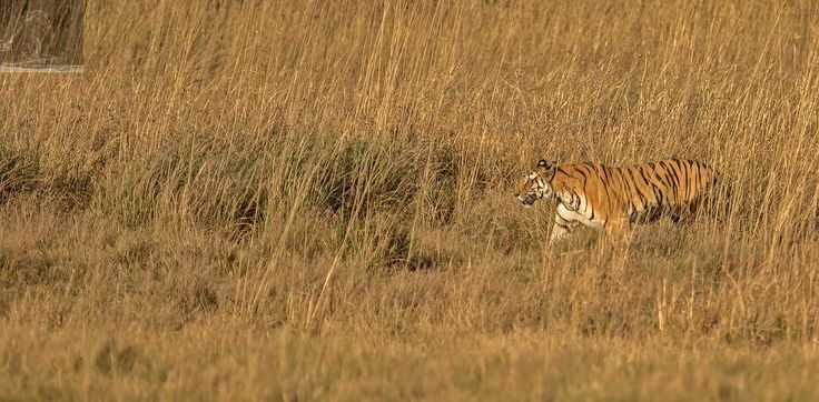 Bandhavgarh 032 - An adult Bengal Tigress - Bandhavgarh, India…