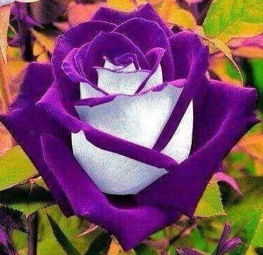 Osiria Rose Seeds 100pcs | Rudelyn's Sari Sari Store