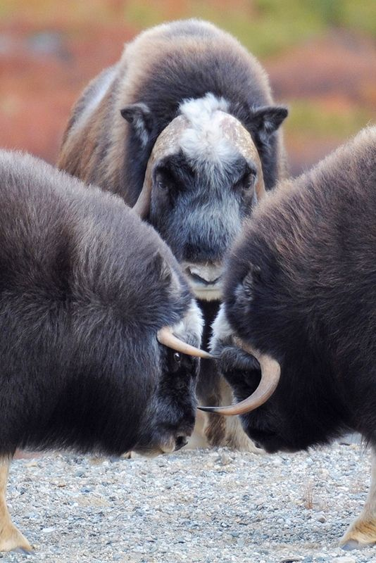Musk Ox - They live in the tundra of Greenland, Canada, and Alaska.