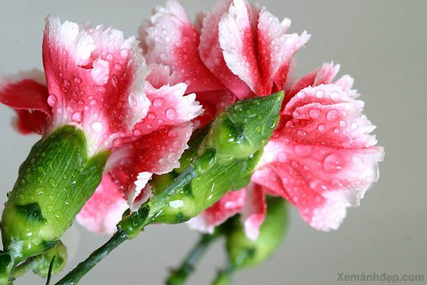 carnation flower | Carnation flowers photos-Carnation flowers pictures | Xemanhdep Photos ...