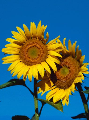 how to plant and make your own sunflower seeds...great antidepressant