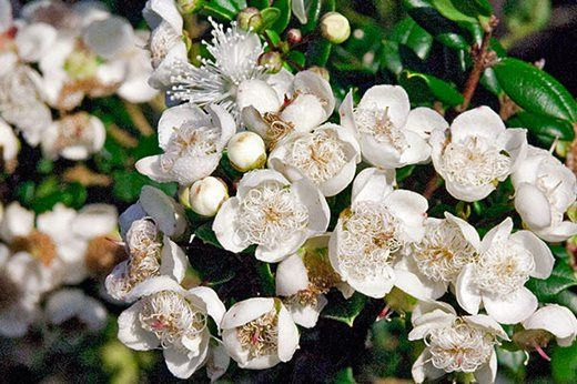 Luma Apiculata for boxes in front of windows