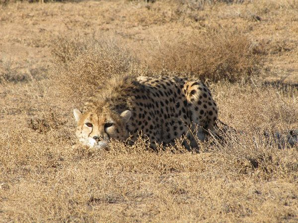 Asiatic Cheetah | waiting for the right moment