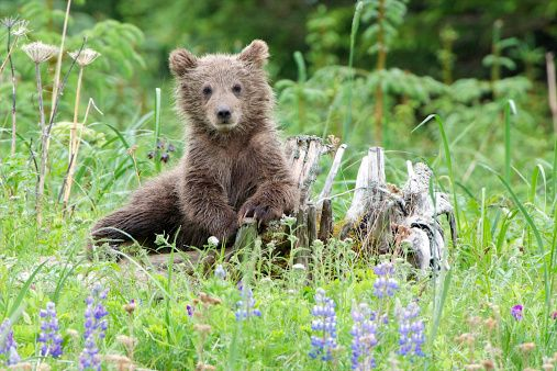 A grizzly bear cub relaxes on a stump.