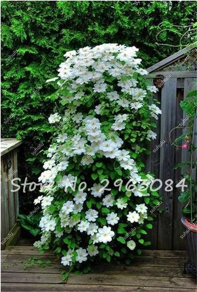 Hot Selling 50 Pcs Rare Clematis Seeds Perennial Flowers Climbing Clematis Plants DIY Home Garden Pot Plant Free Shipping