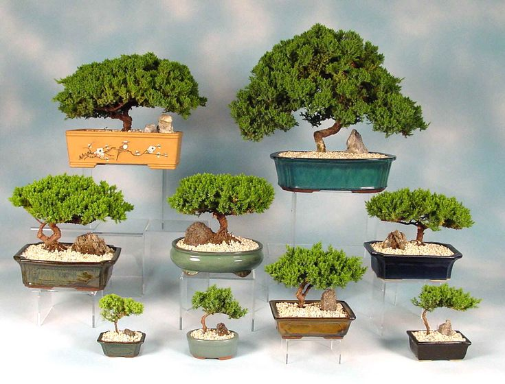 Beginners guide to buying a bonsai tree