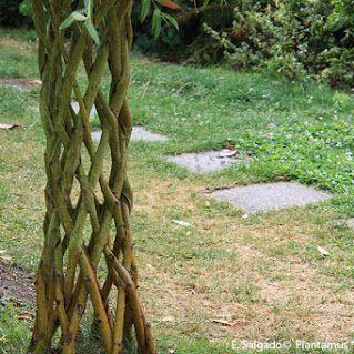 Mimbrera, Salix viminalis, Bimbieira una planta con muchos usos