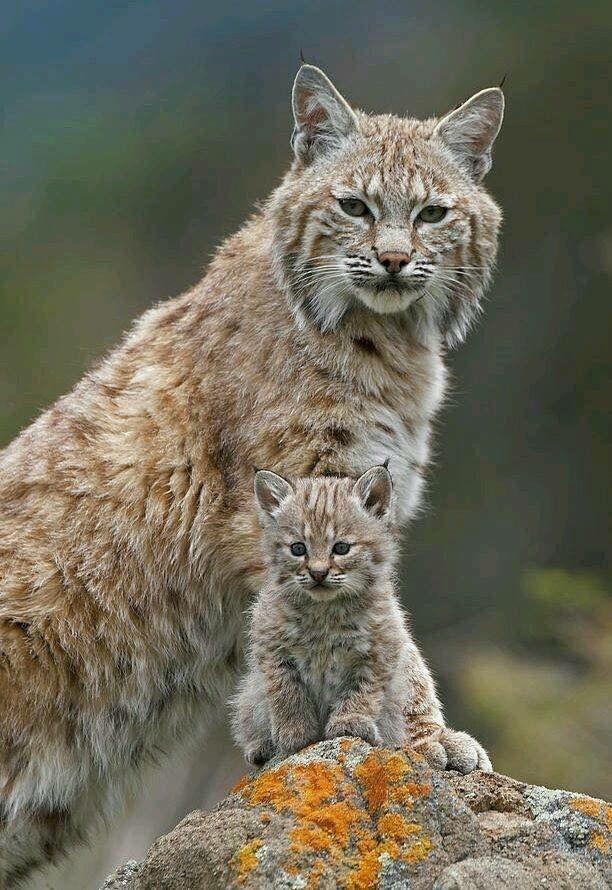 A cute lynx kitten with their mom (xpost r