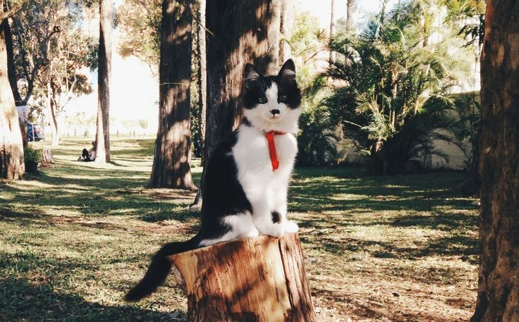 Dicas de como levar seu gato para passear de coleira.