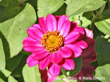 Zinnia.  I don't love most zinnia, but the large flowered semi-double is nice.