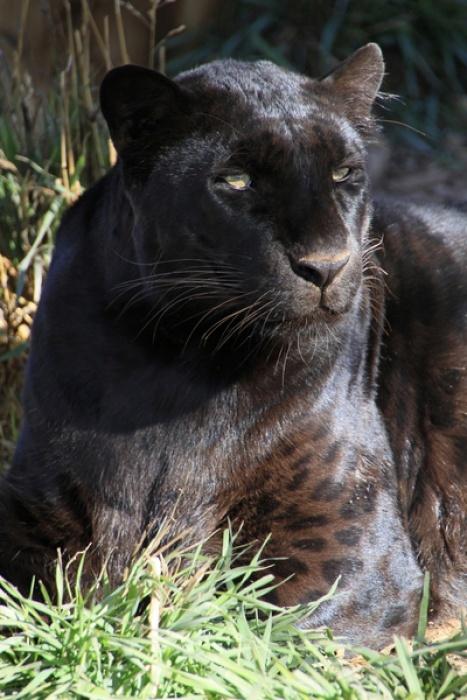 Rescued Black Leopard